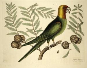 Catesby carolina parrot whole