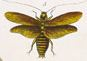Catesby insect