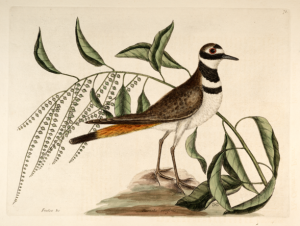 Catesby killdeer full