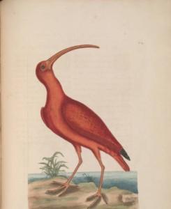 Catesby scarlet ibis unc.edu