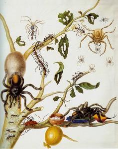 Maria-Sibylla-Merian--spiders 2