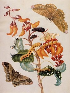 Merian korallenbaum_augenspinner_hi