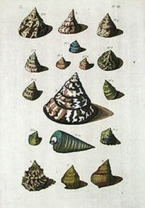 Merian shells 3 resized