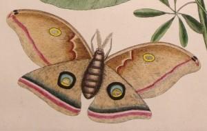 Moth 19thC print