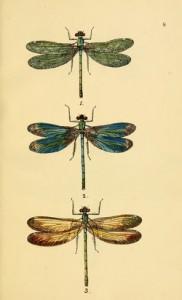 british-dragonflies-1845_07