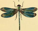 british dragonfly snip