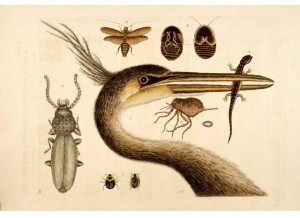catesby-109-bird-eating-lizard-insects-var