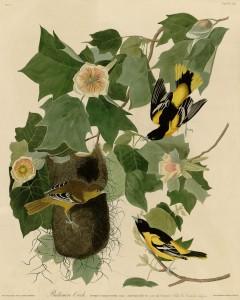 Baltimore_Oriole_(Audubon)