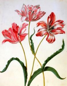 Merian-Maria-Sibylla-Three-tulips-Sun